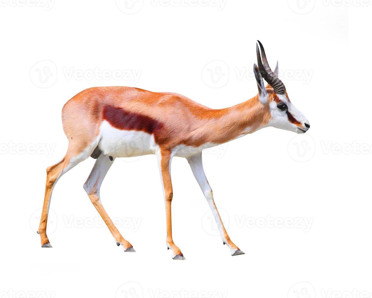 o antílope da gazela. foto