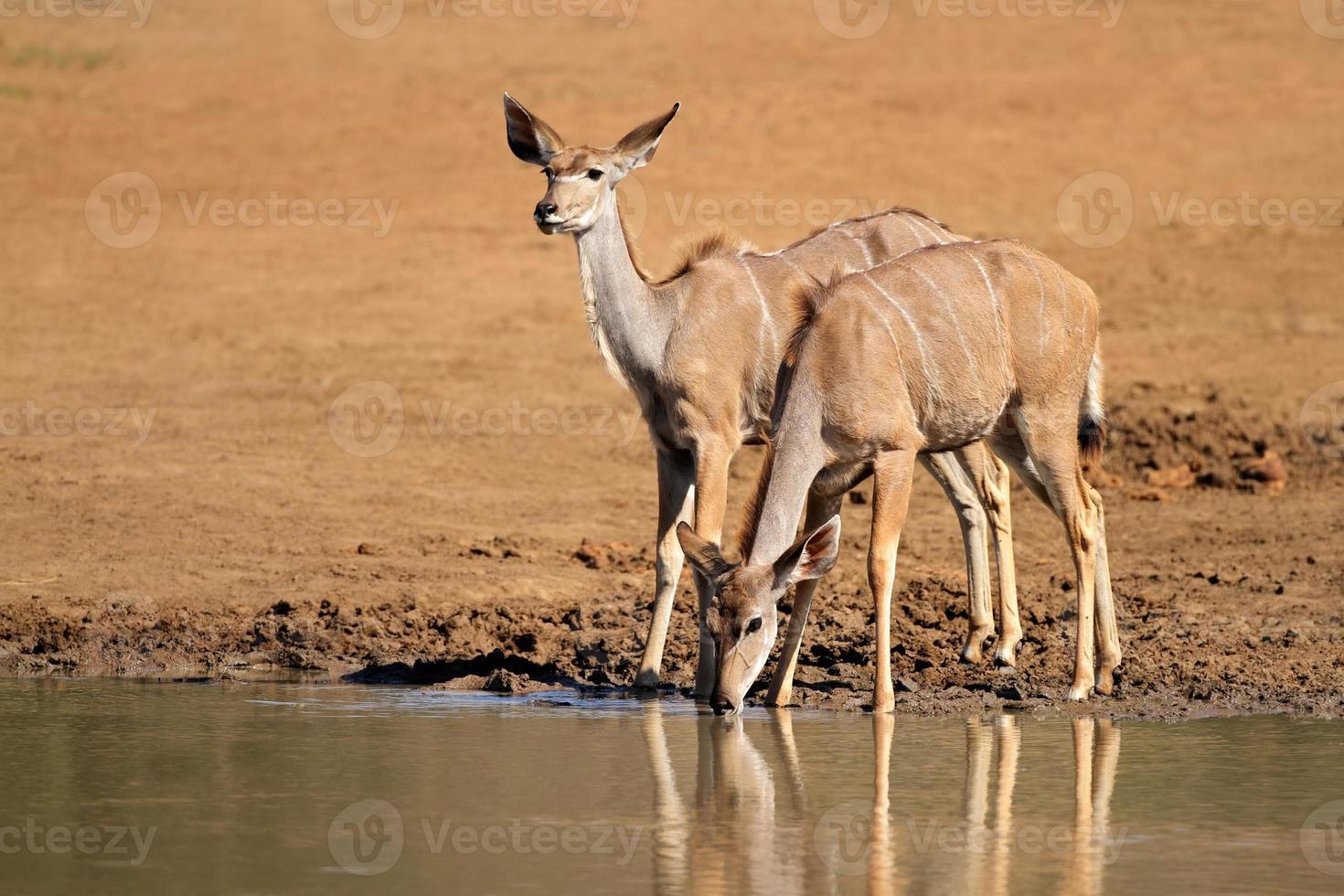 antílopes kudu bebendo foto