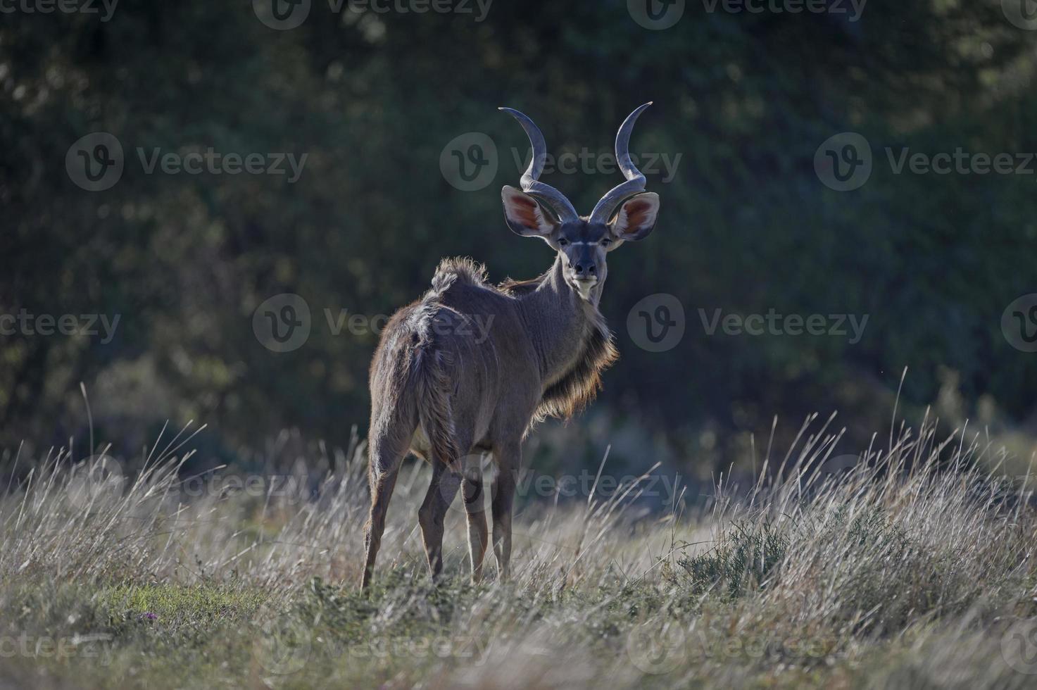 kudu olhando para trás foto