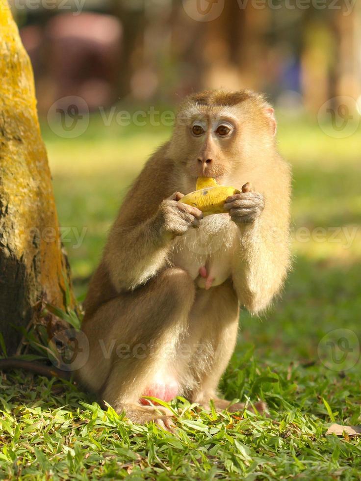 macaco comendo banana foto