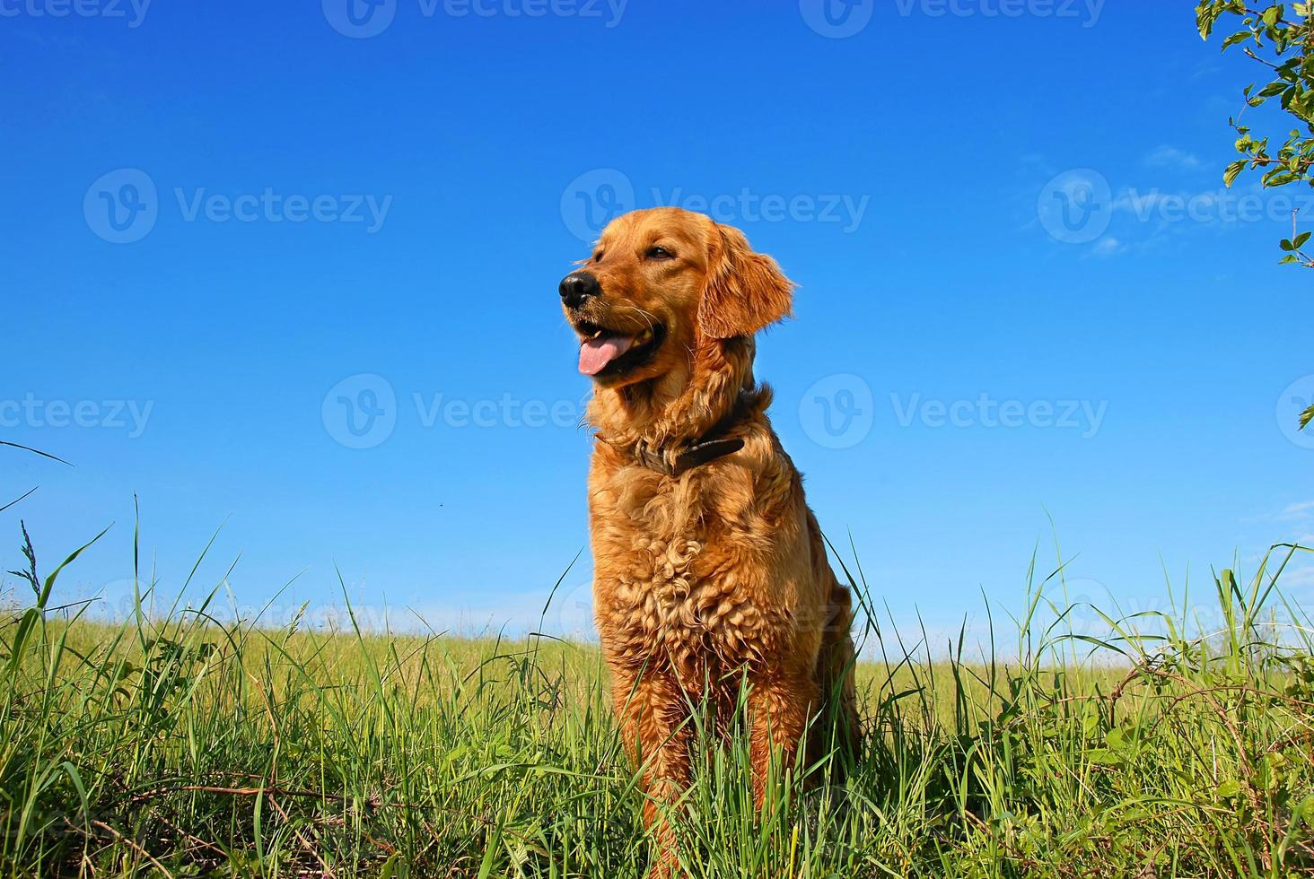 retrato de cachorro golden retriever foto