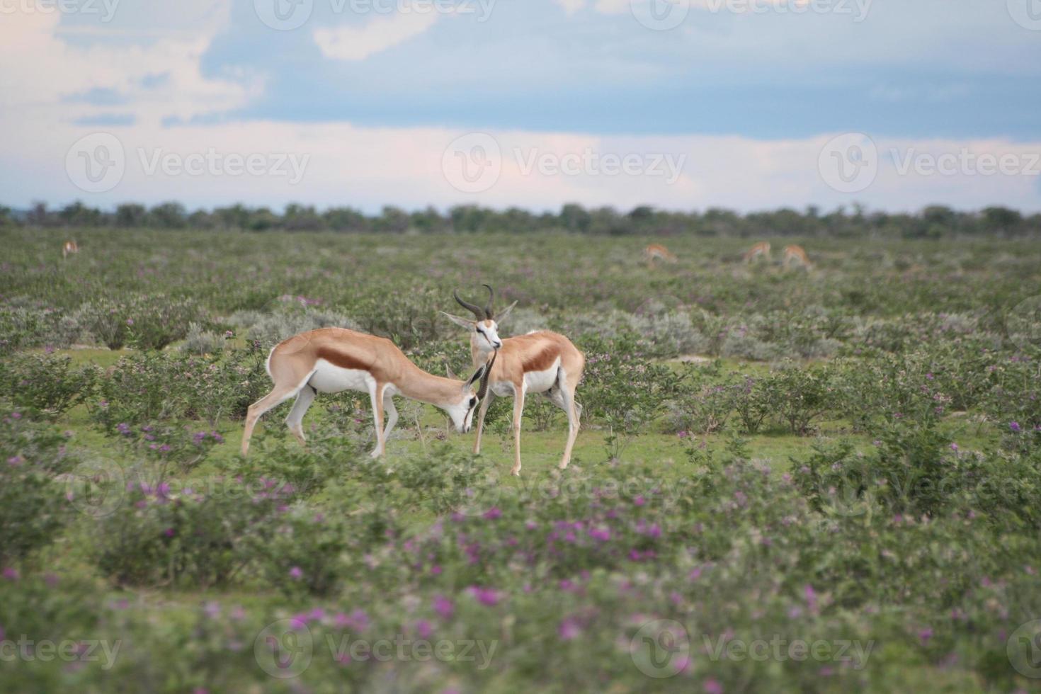 gazela, parque nacional etosha, estação chuvosa, namíbia, áfrica foto