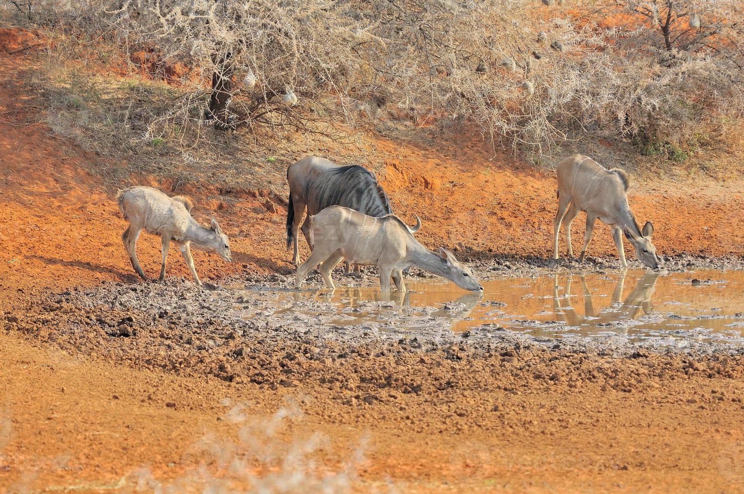 GNU azul e kudu foto