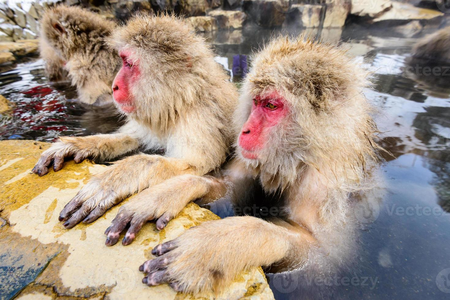 macacos da neve foto