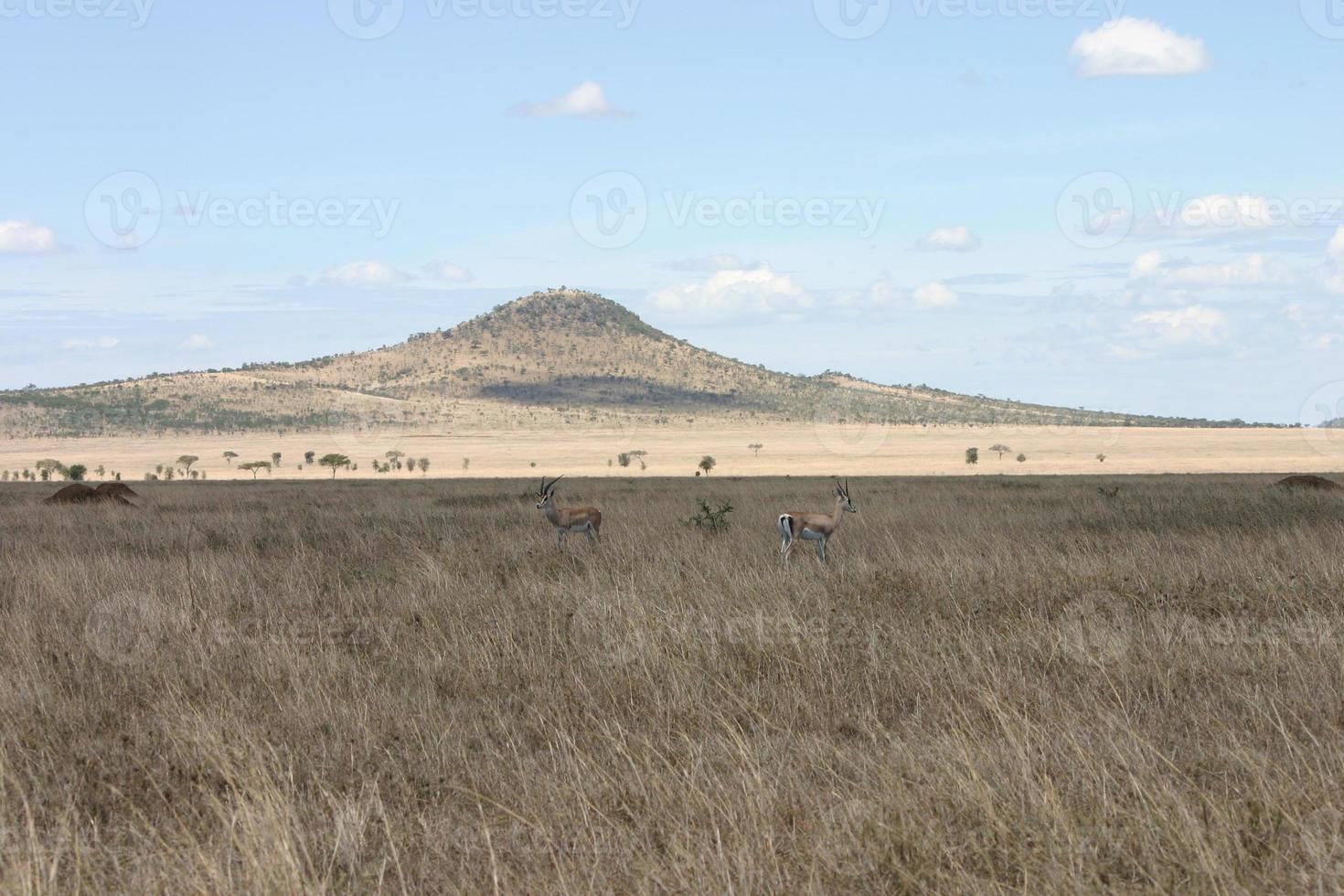 gazela da concessão, (nanger granti), savana africana, serengeti, tanzânia foto