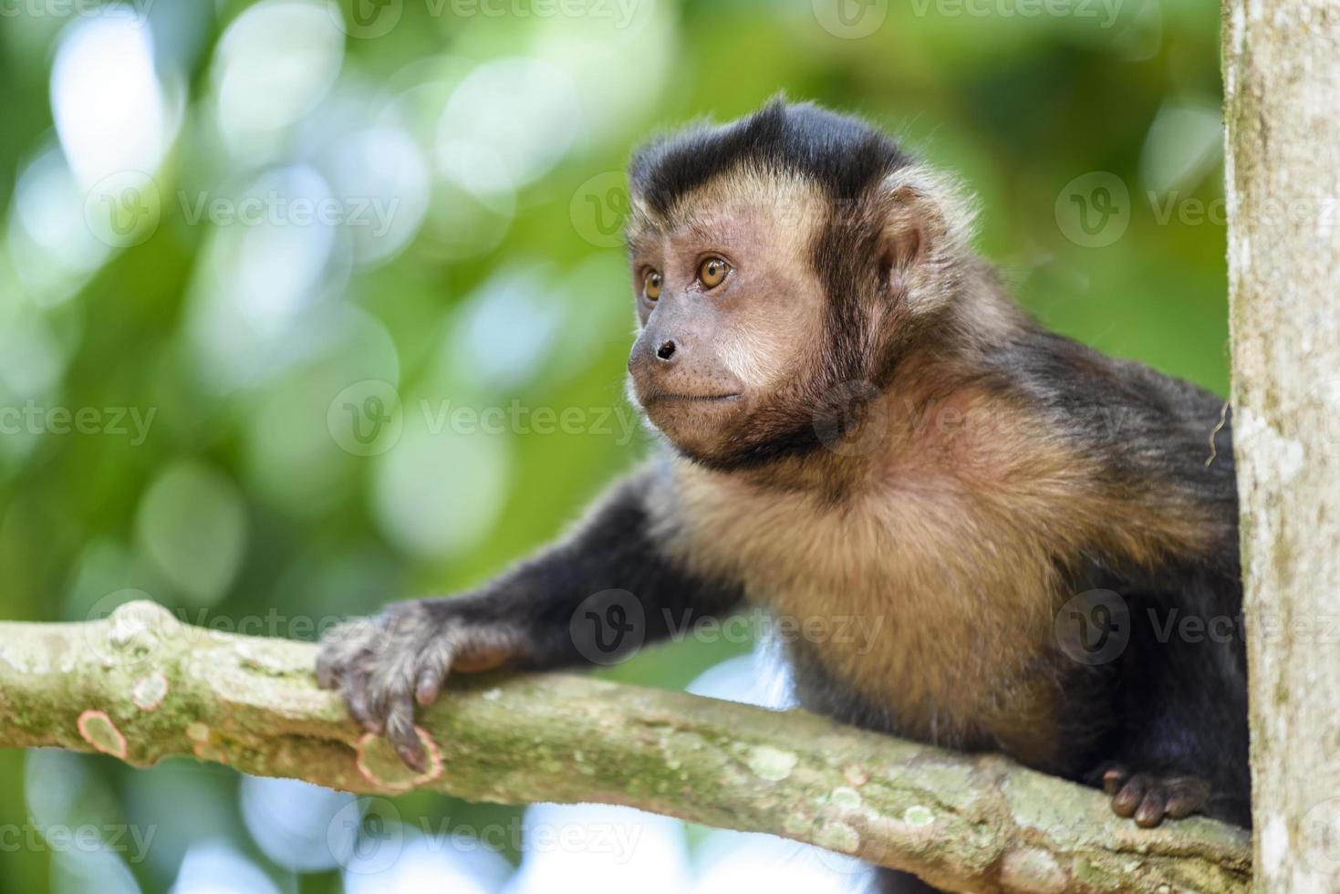 macaco prego foto