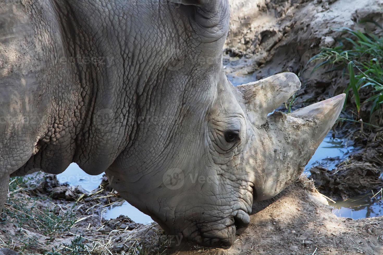 grande rinoceronte africano foto