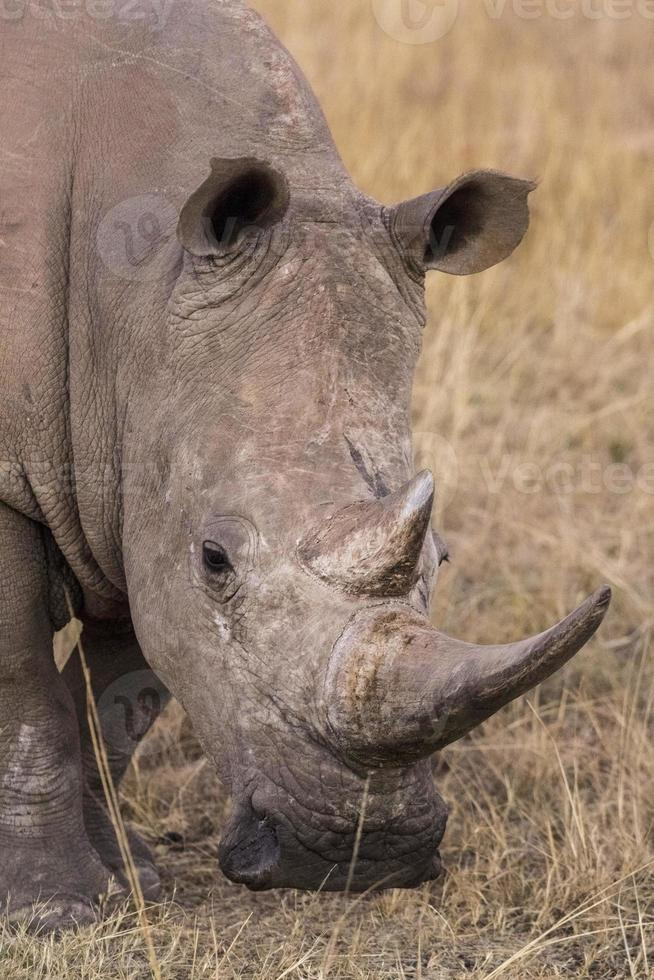 rinoceronte africano foto
