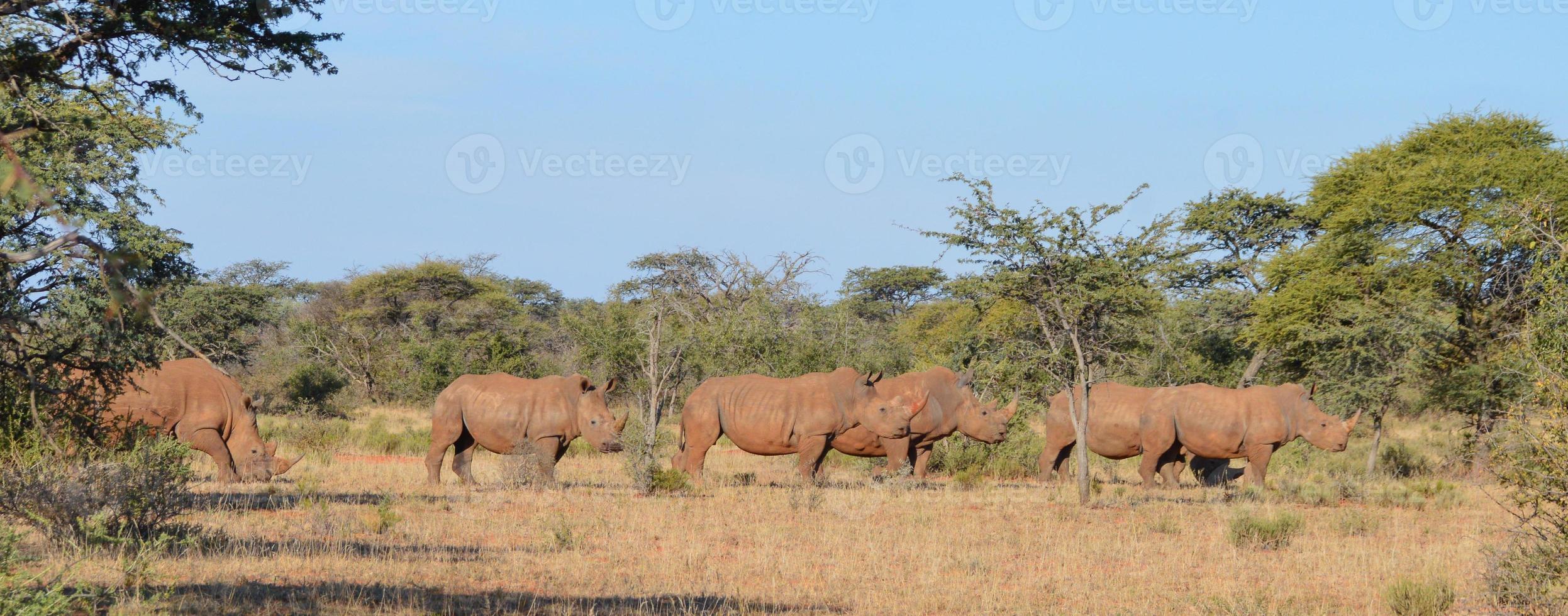 grupo 1 de rinoceronte branco foto