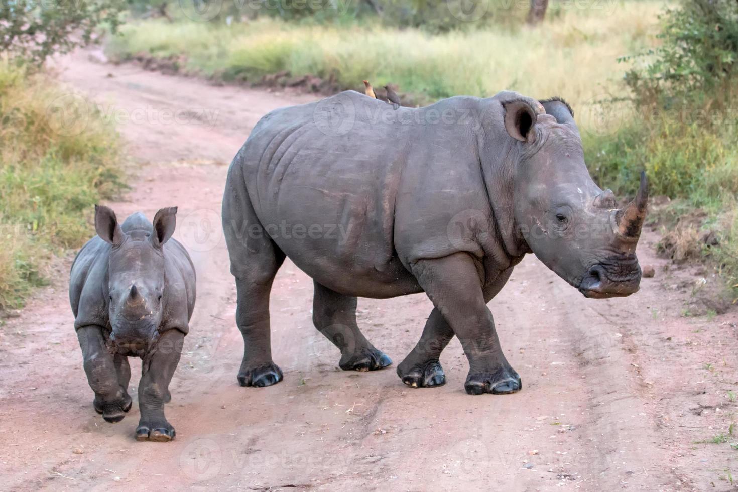 mamãe e bebê rinocerontes brancos foto