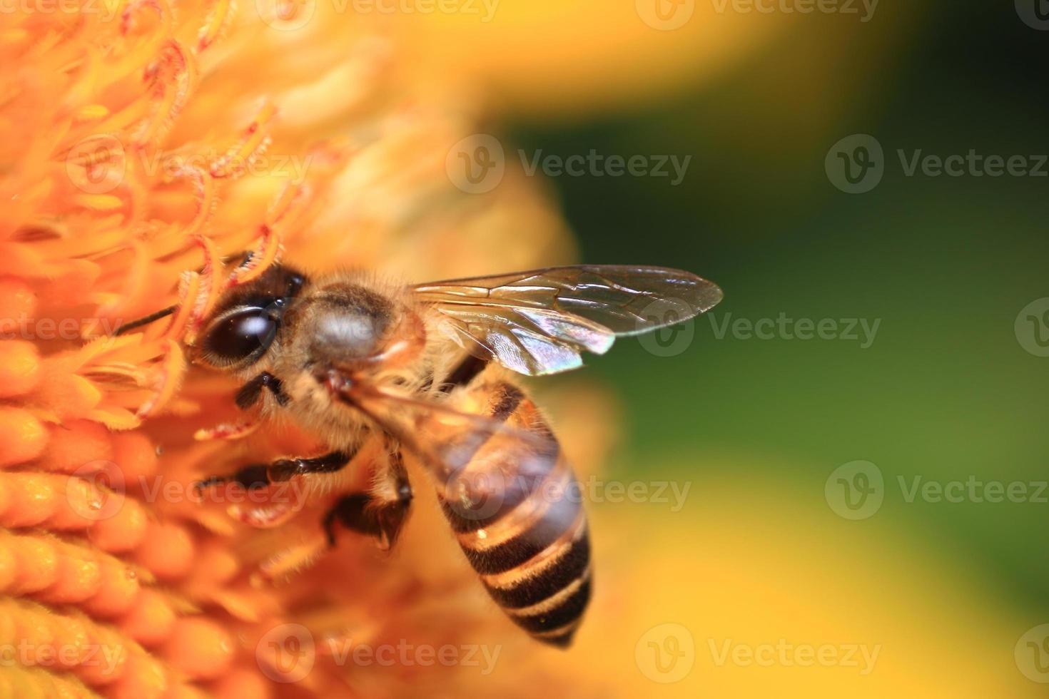 girassol e abelha foto