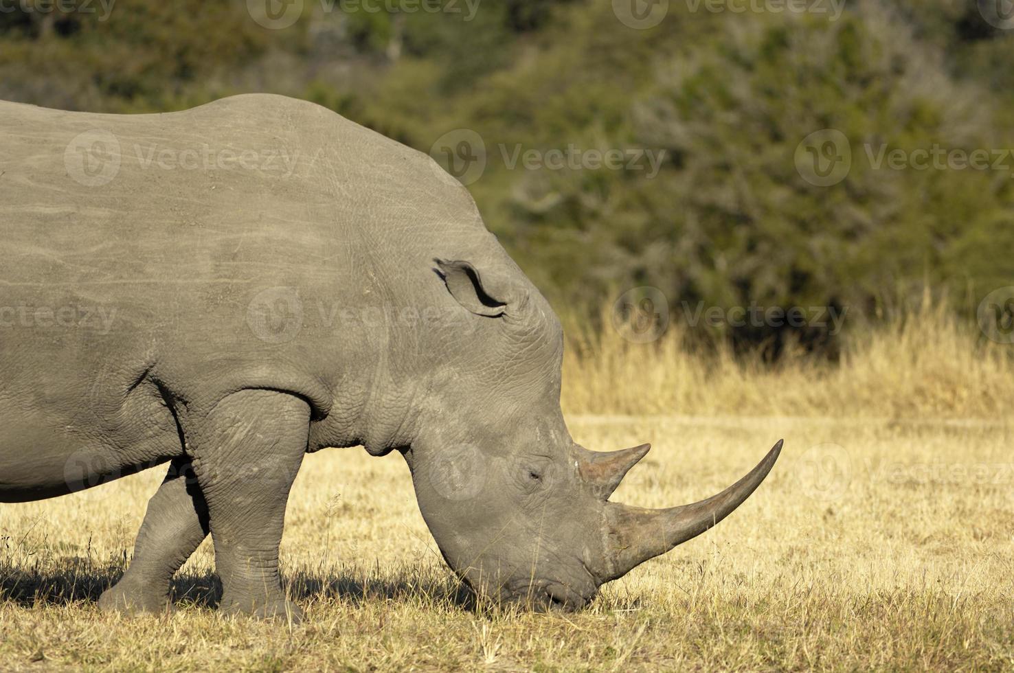 rinoceronte branco masculino foto