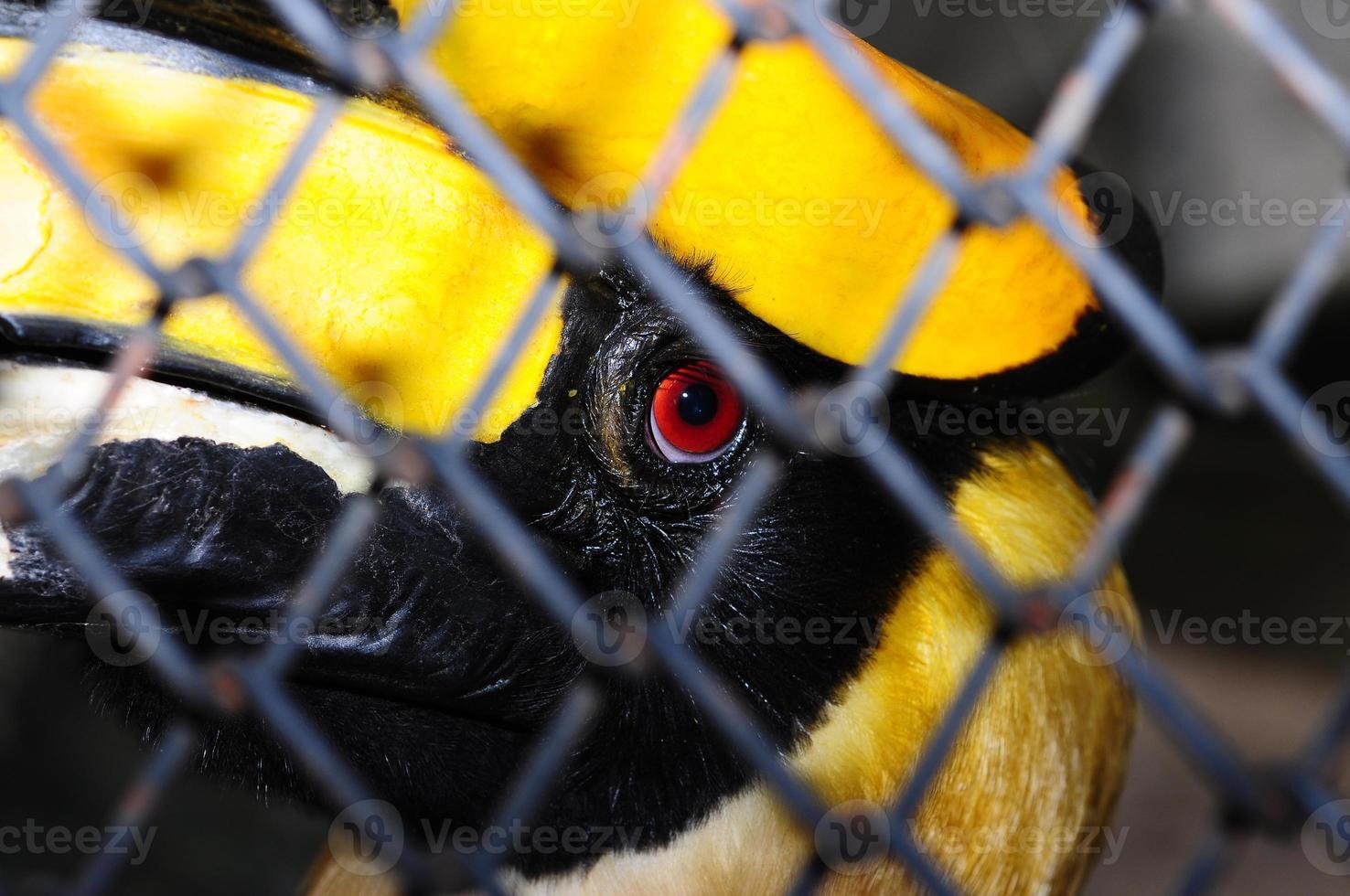 grande Calau (buceros bicornis) em gaiolas, Tailândia foto