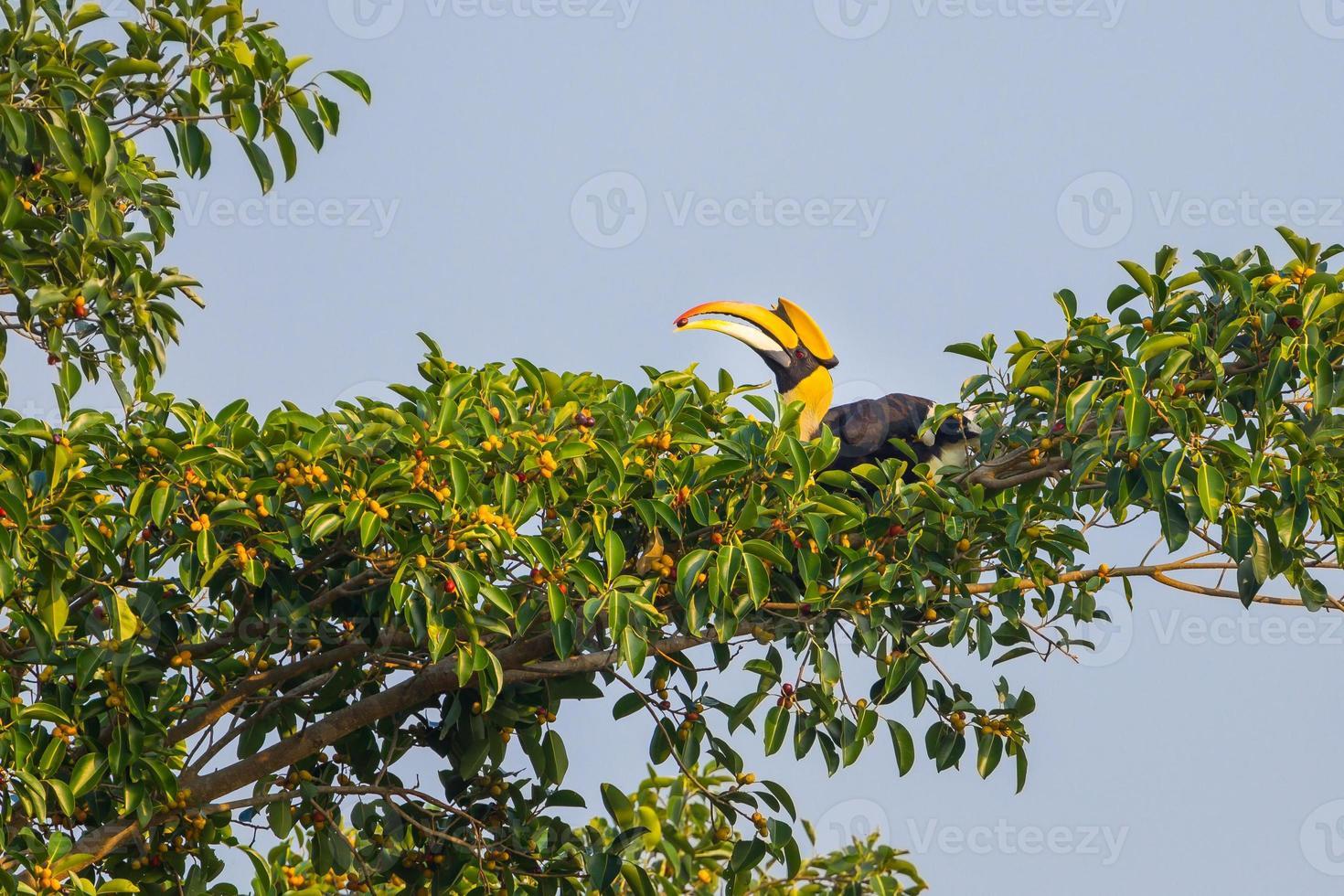 Calau-de-bico-grande (buceros bicornis) foto
