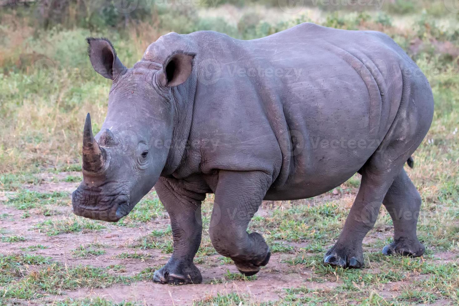 rinoceronte branco no parque nacional kruger foto