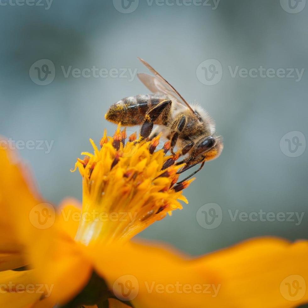 abelha foto