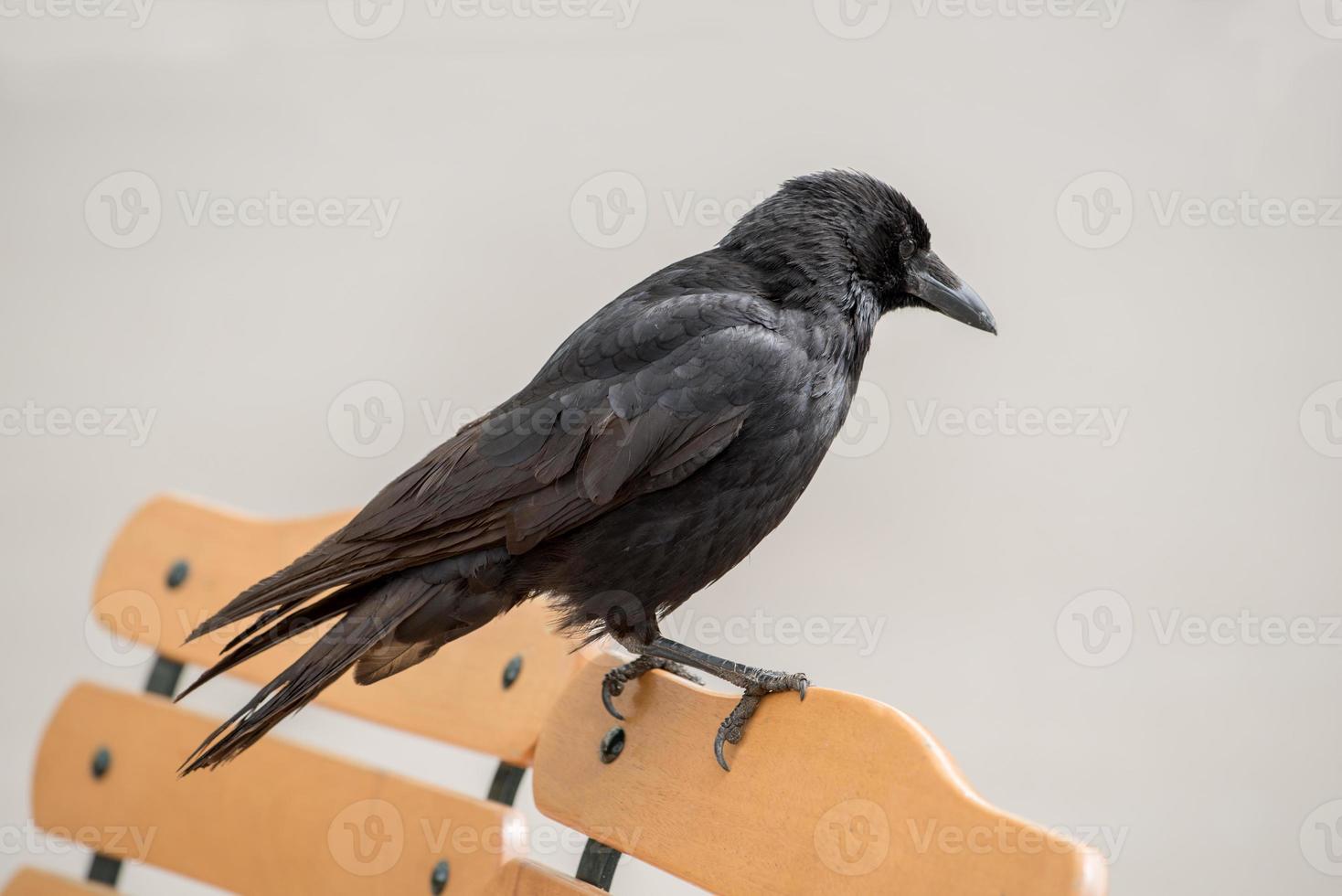 corvo sentado em uma cadeira foto