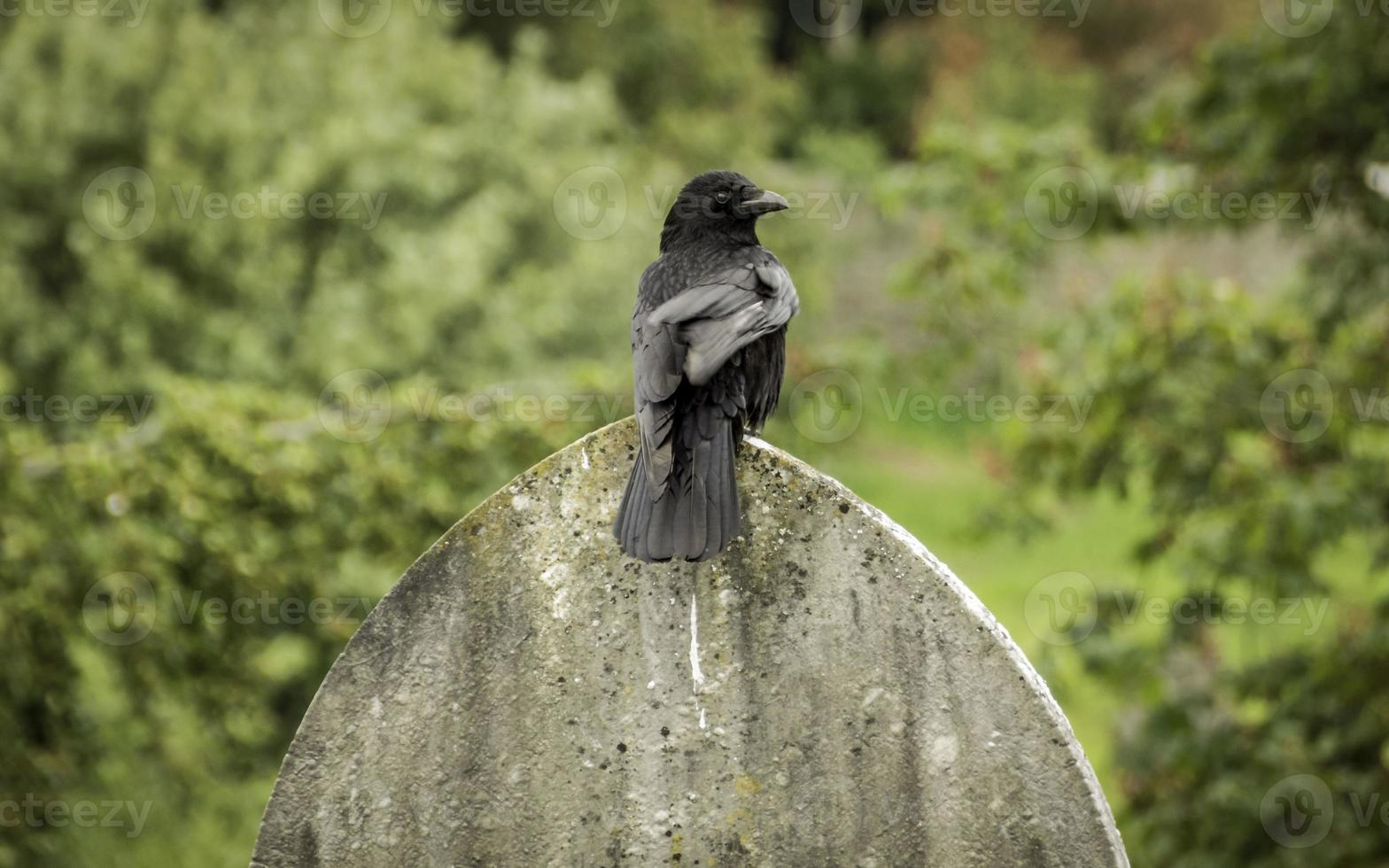 grande corvo pousa em uma lápide, imagem colorida foto