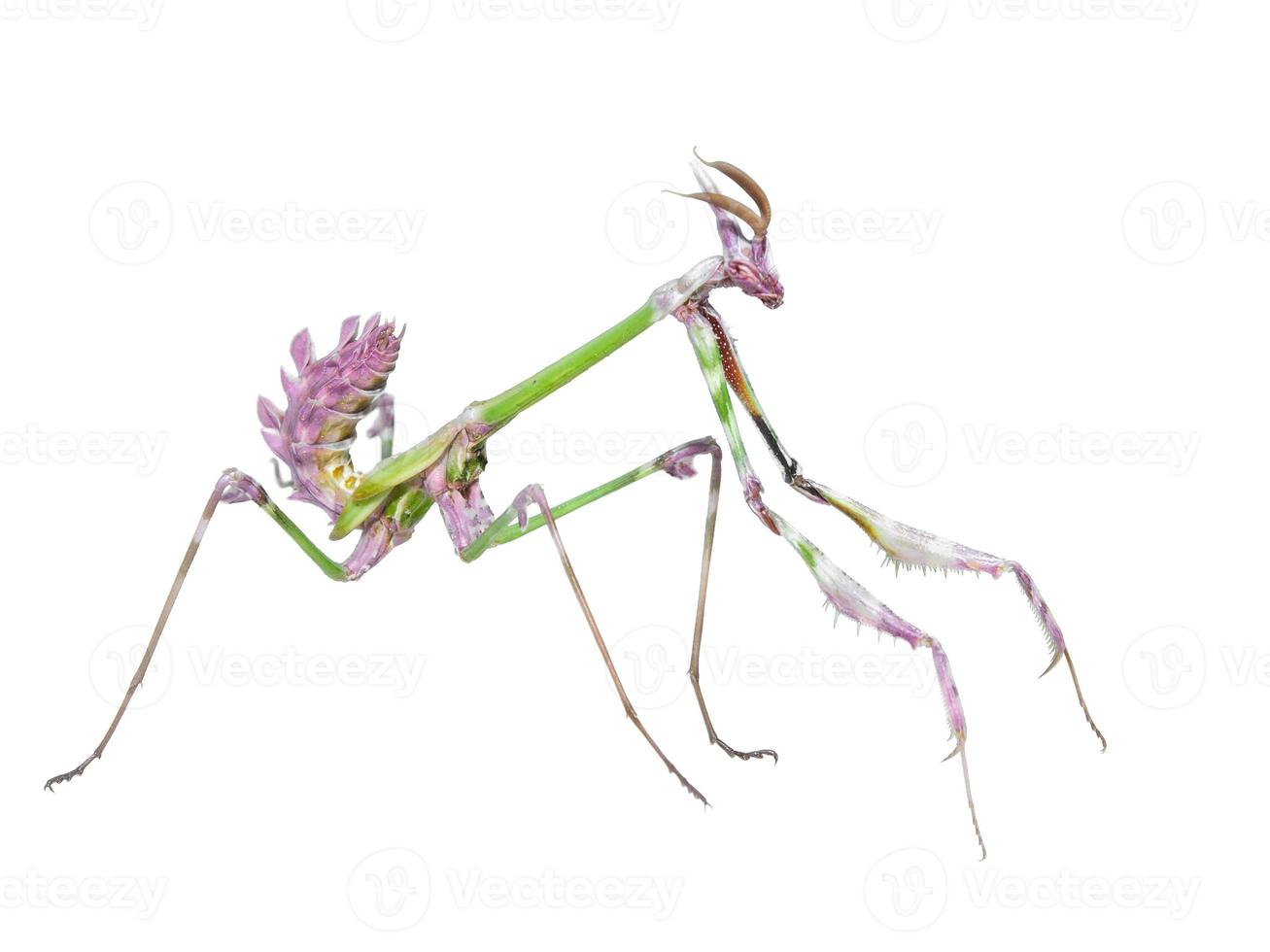 perigoso predador mantis inseto pega presas foto