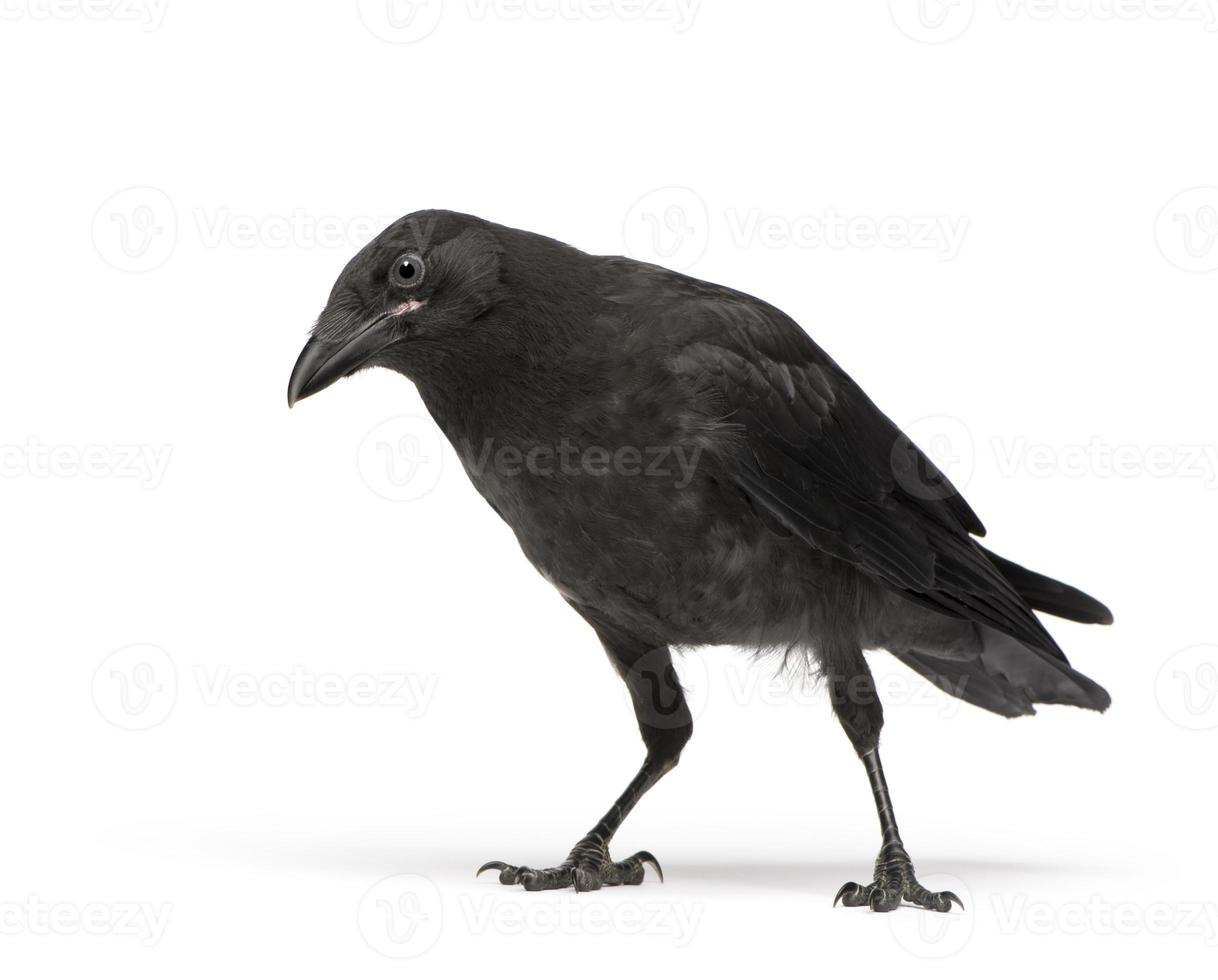 corvo de carniça, olhando para a câmera foto
