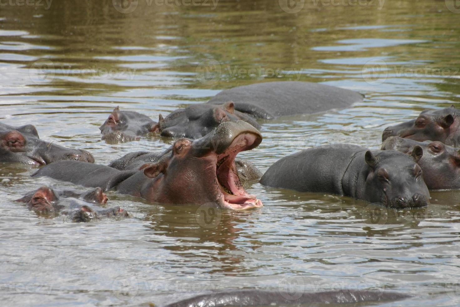 hipopótamo com a boca aberta, serengeti, tanzânia, áfrica foto