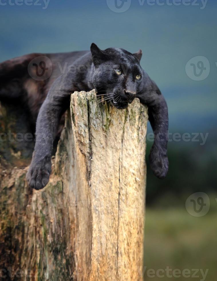 leopardo preto foto