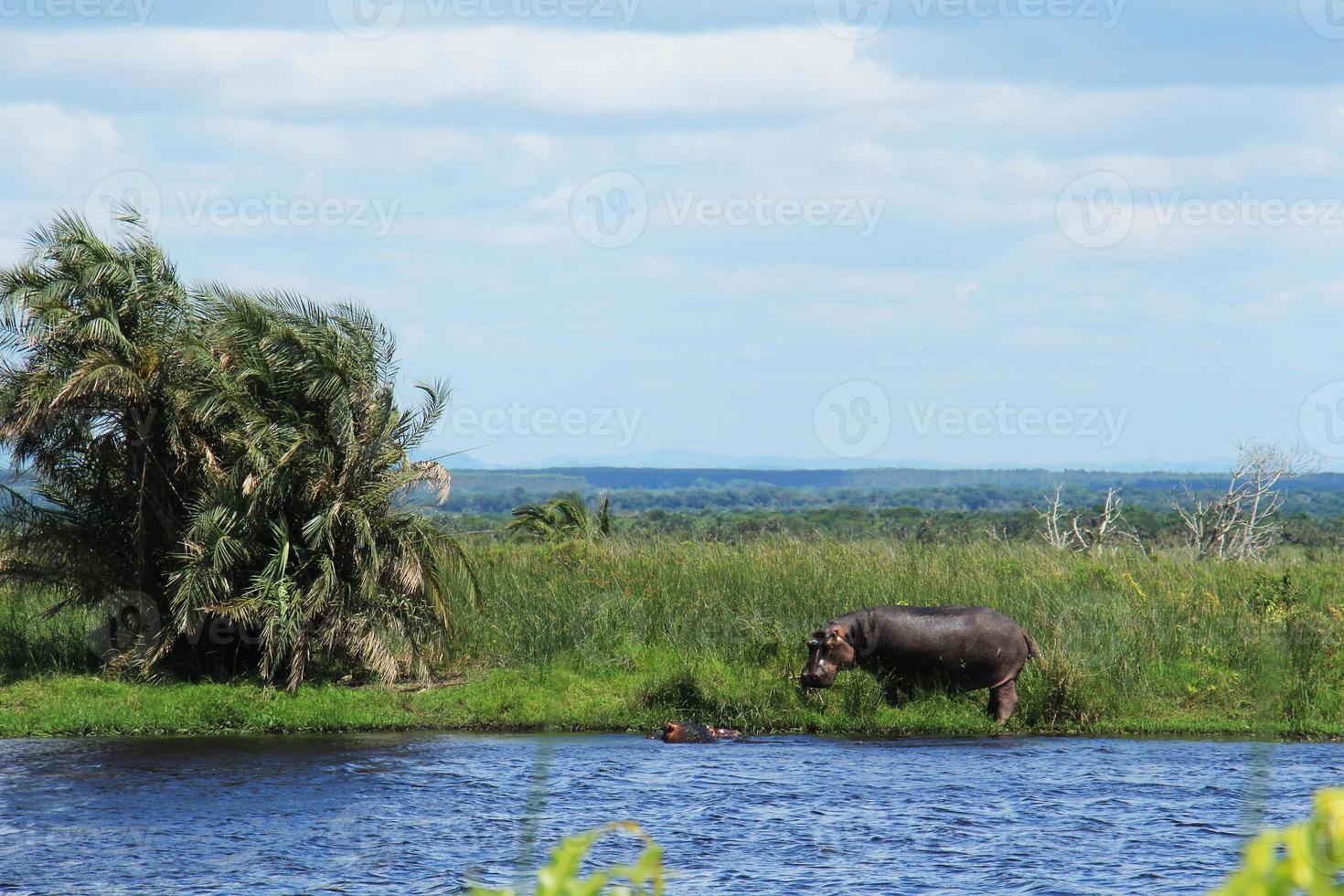 hipopótamo em uma lagoa foto