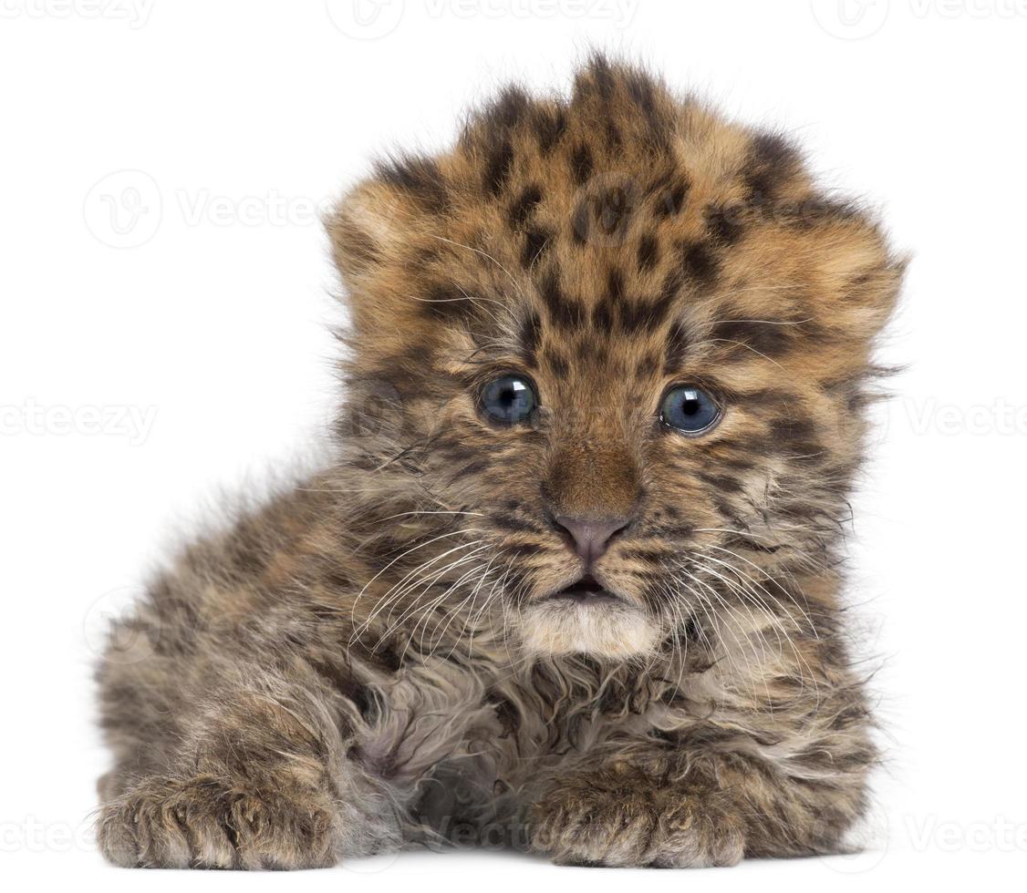 filhote de leopardo amur, panthera pardus orientalis, 6 semanas de idade foto