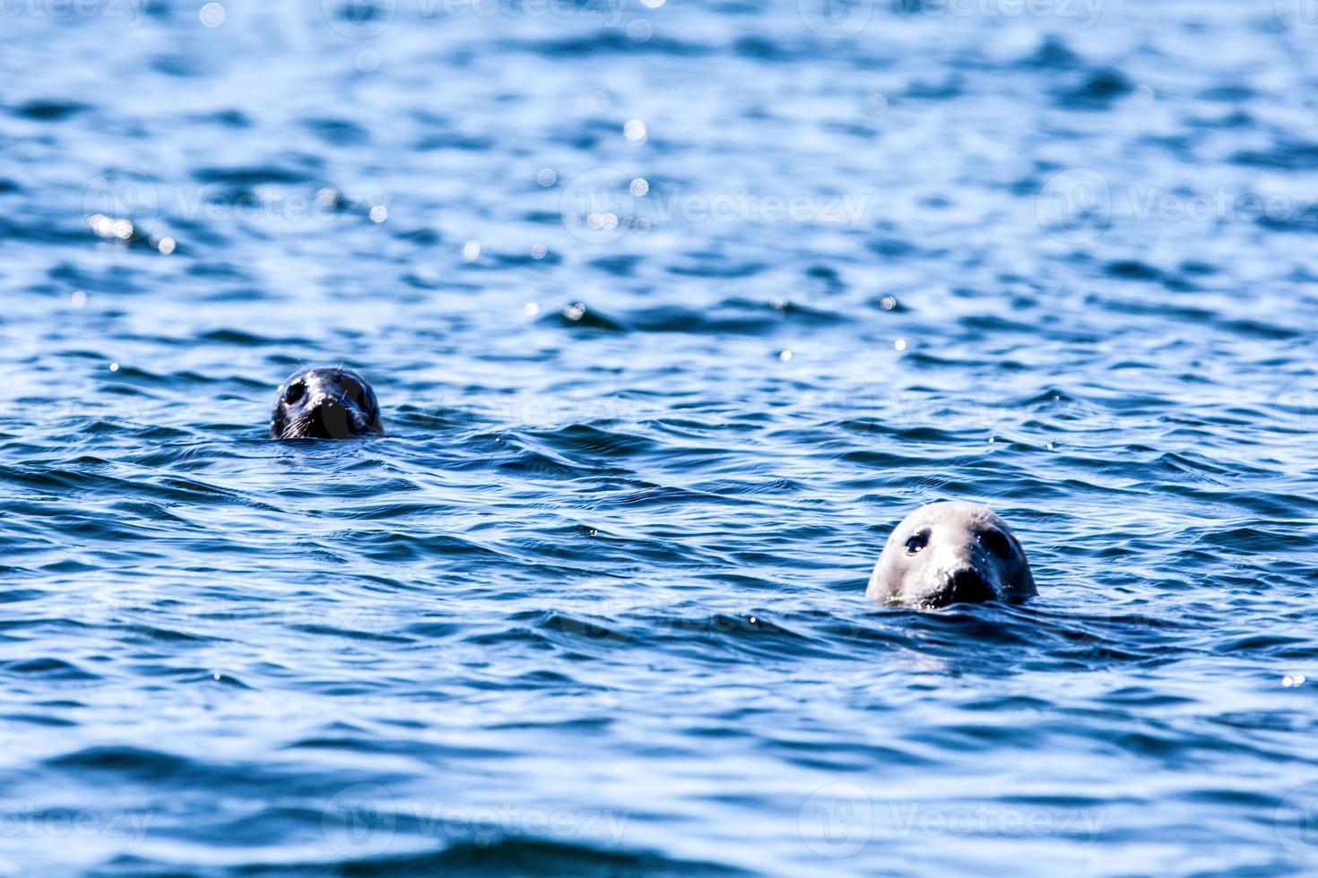 duas cabeças de vedação na água foto