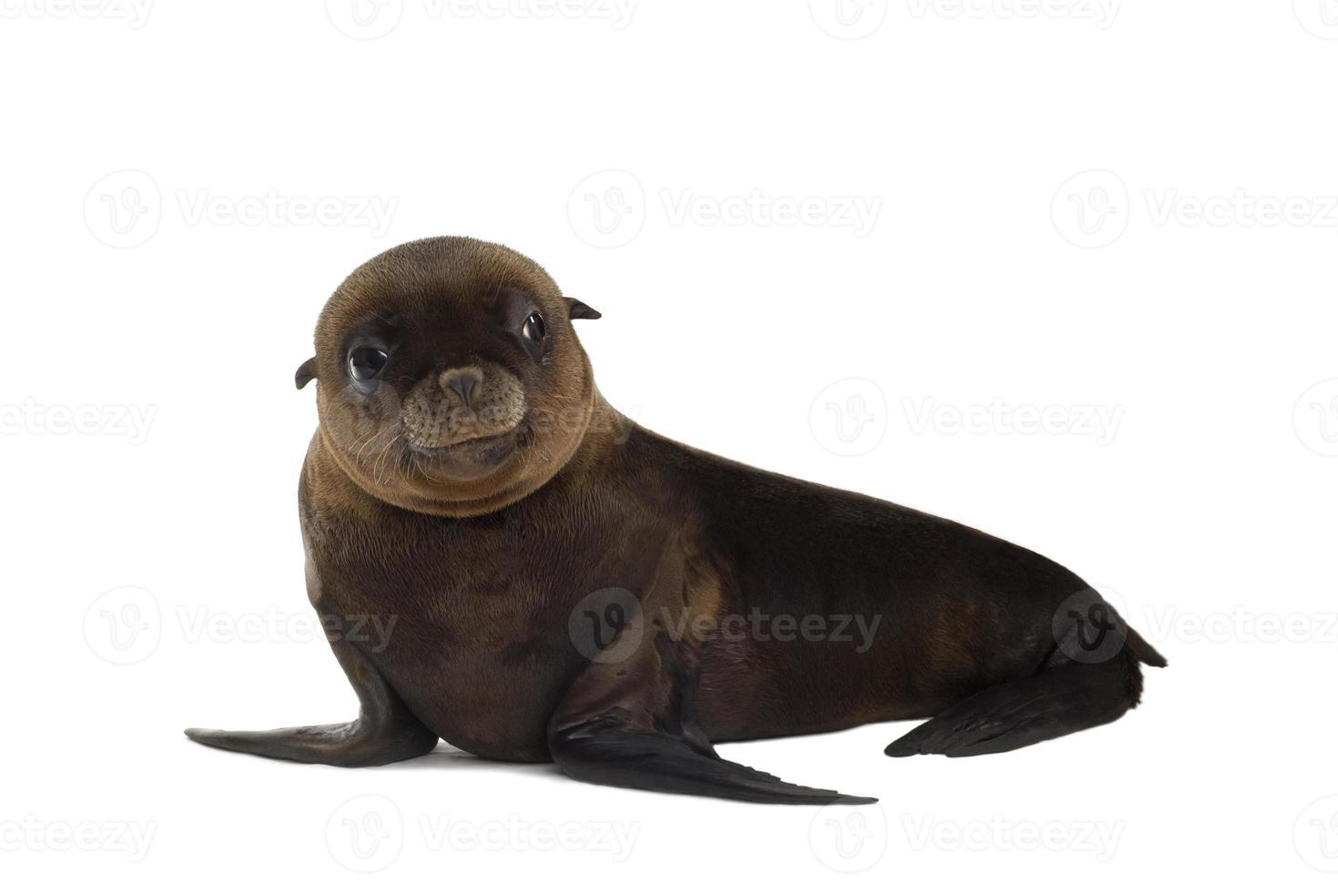 leão-marinho-bebê com fundo branco foto