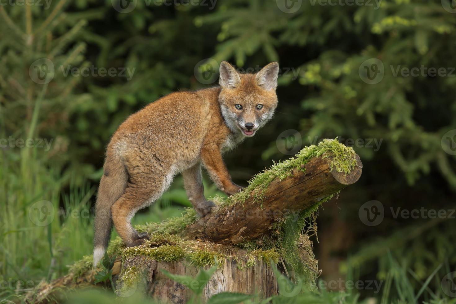 raposa na floresta foto