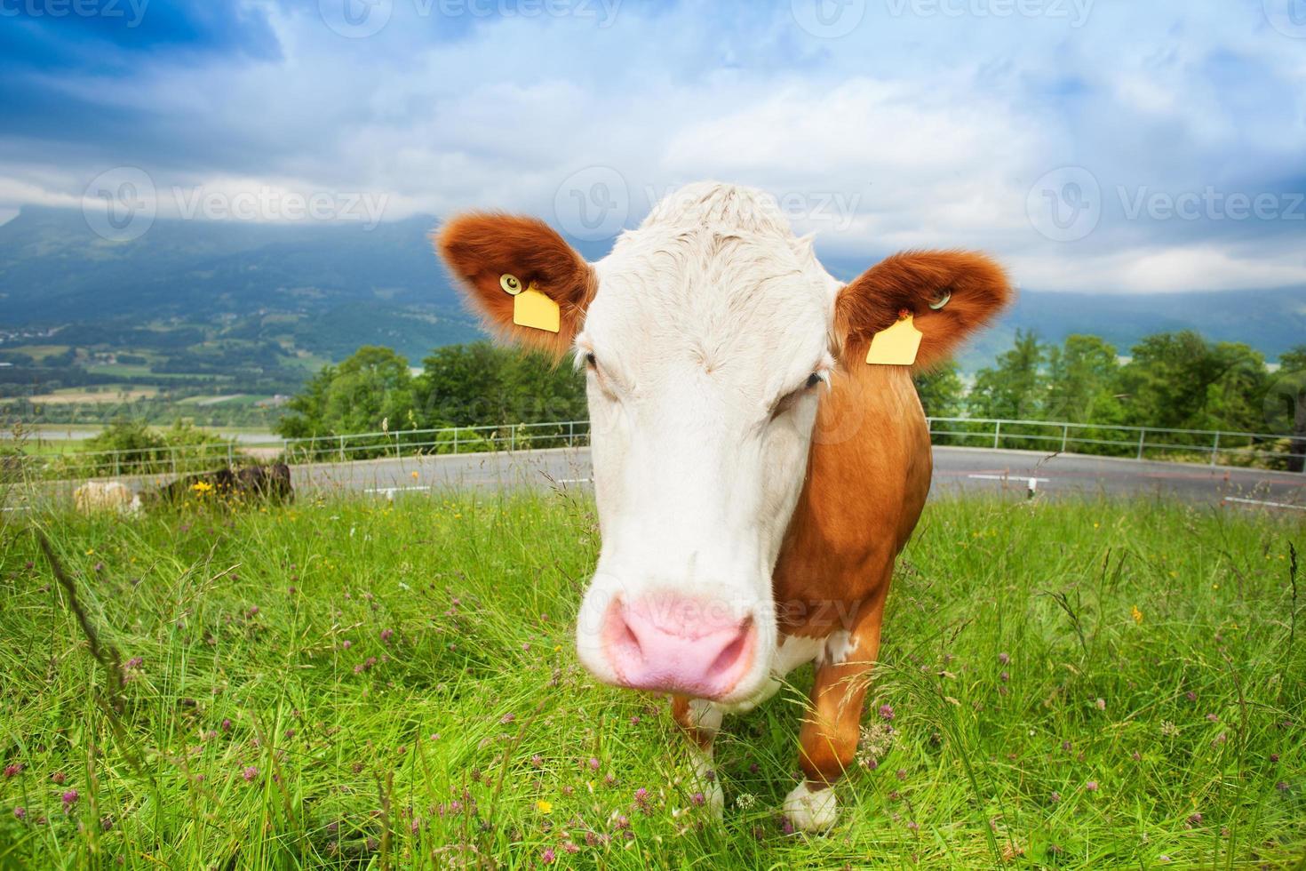 vaca fofa foto