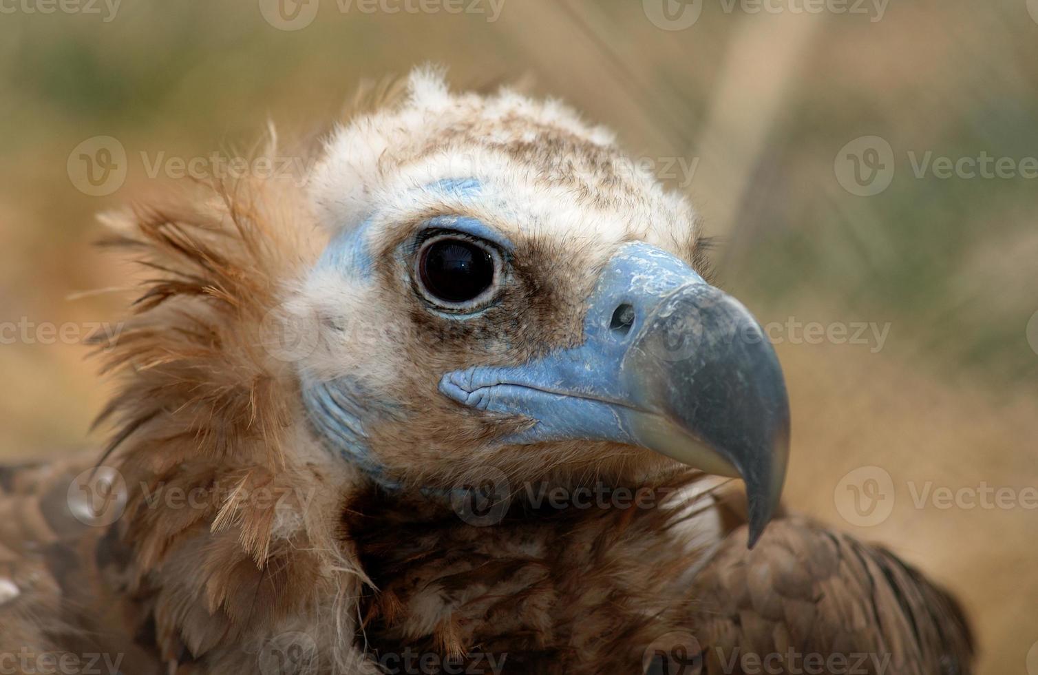 abutre com cara azul foto