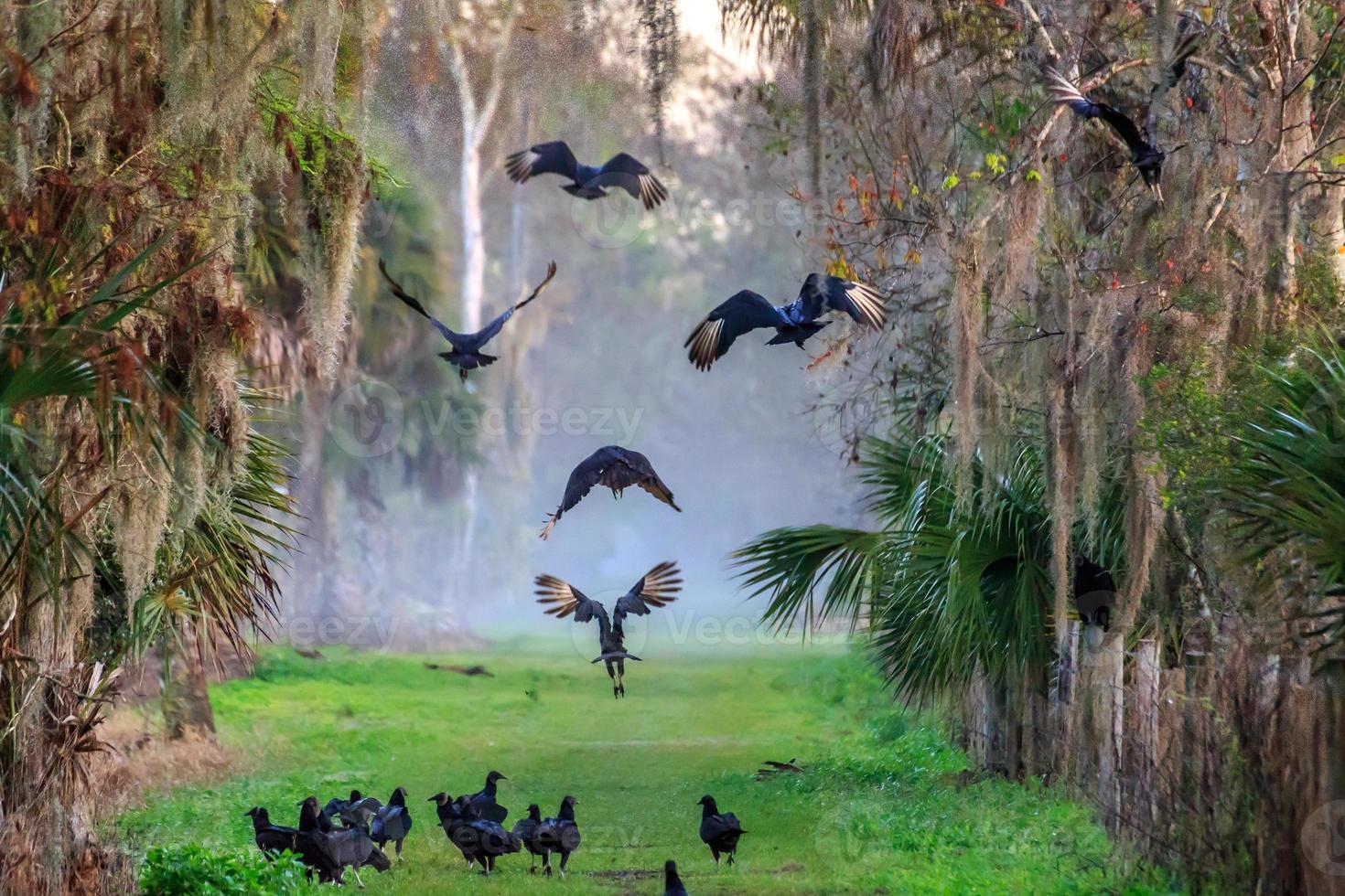 abutres dançando foto
