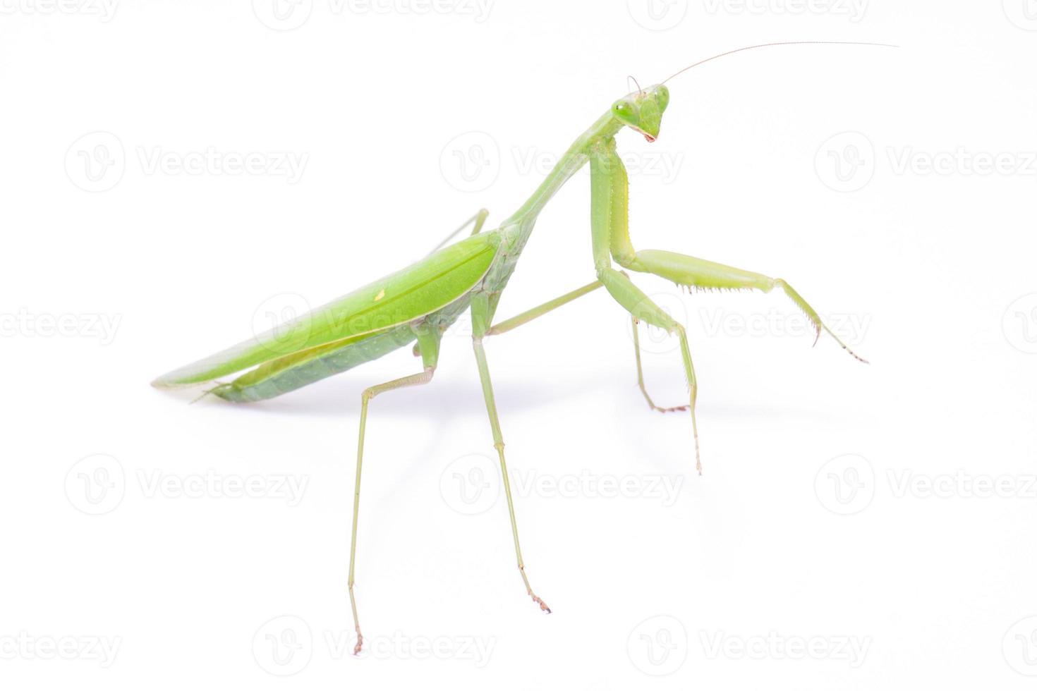 mantis verde foto