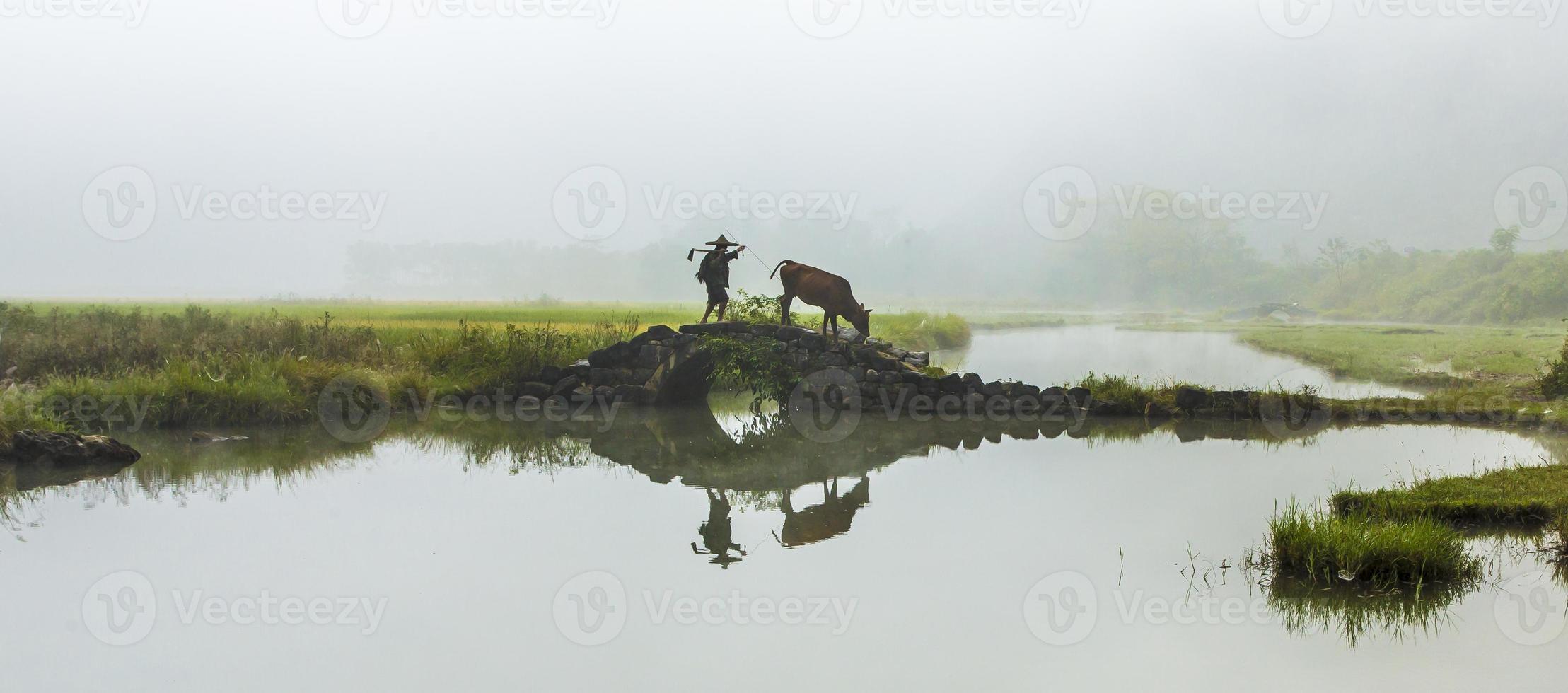 agricultor com vacas foto