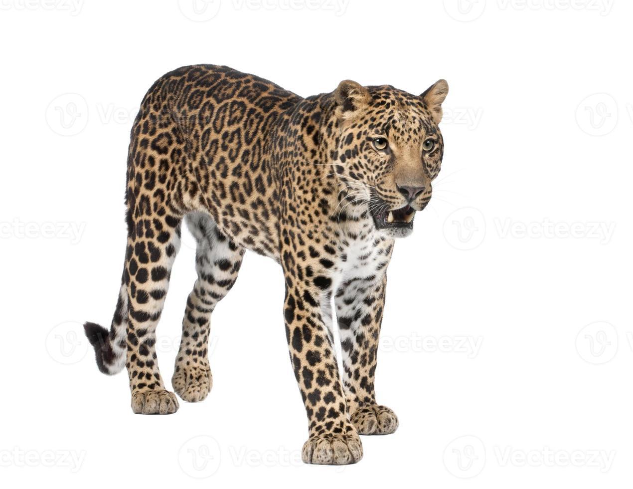 retrato de leopardo, panthera pardus, em pé, estúdio tiro foto