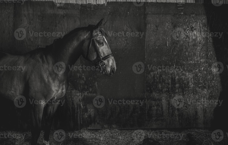 cavalo preto e branco no celeiro foto