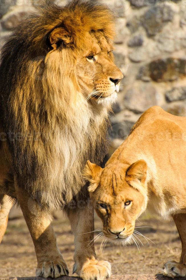 poderoso leão e leoa foto