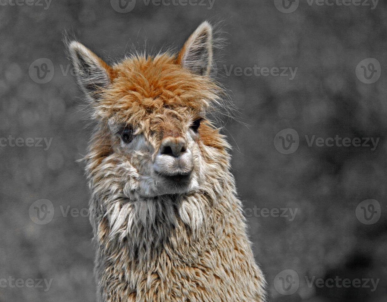 alpaca com cachos de lã foto