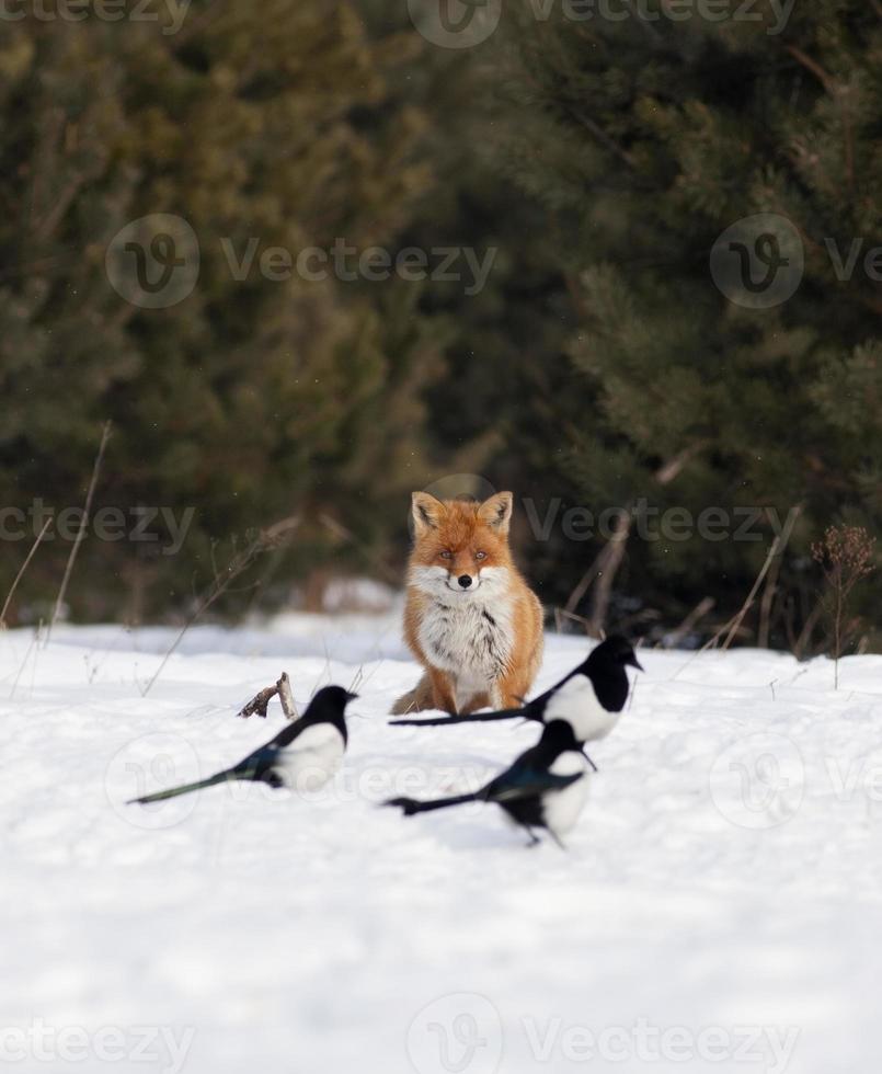 raposa vermelha e pegas foto