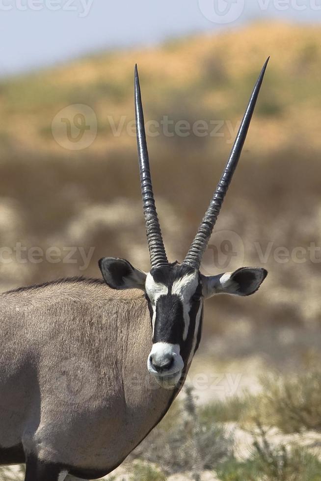 cabeça e ombros gemsbok foto