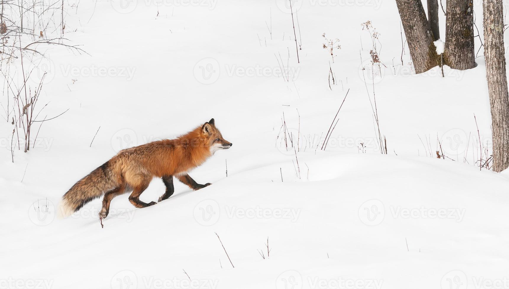 raposa vermelha corre para a direita foto