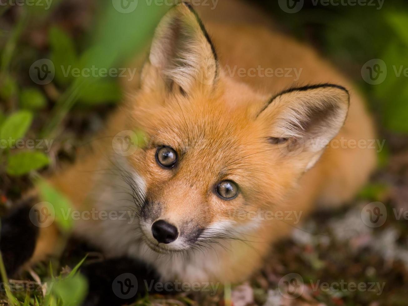 cara de raposa vermelha foto