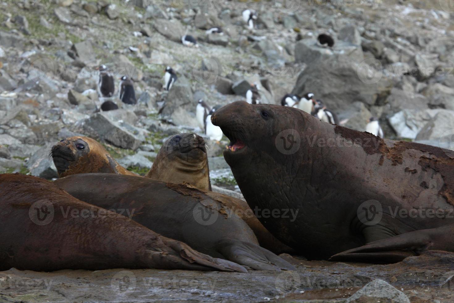 seeelefanten in der antarktis foto