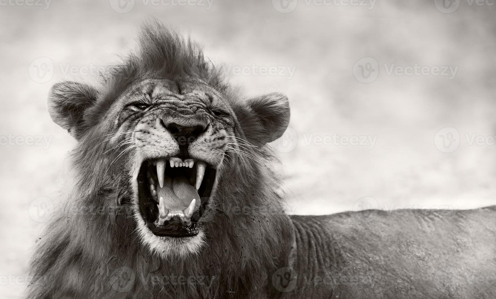 leão exibindo dentes perigosos foto