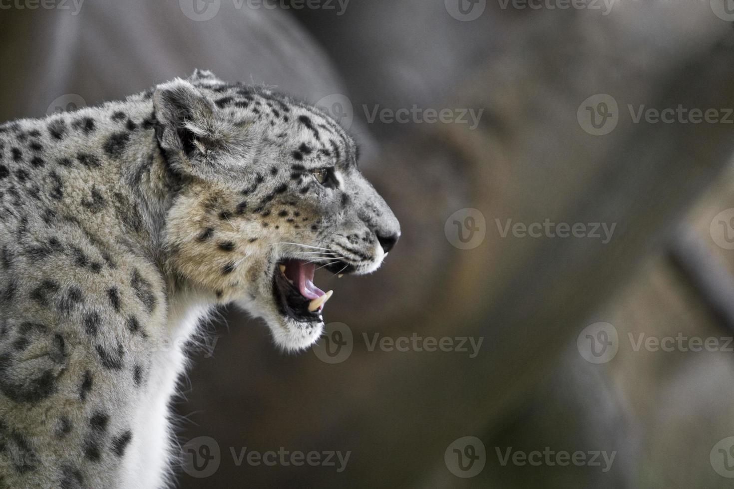 leopardo da neve rosnando foto