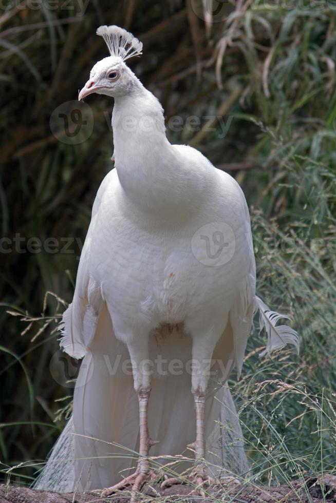 pavão albino em pé alto perto de adelaide sul austrália aus foto