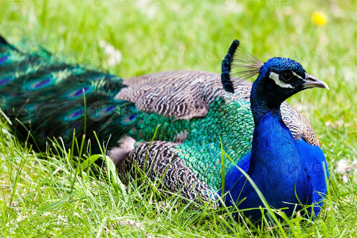 closeup em um pavão descansando foto