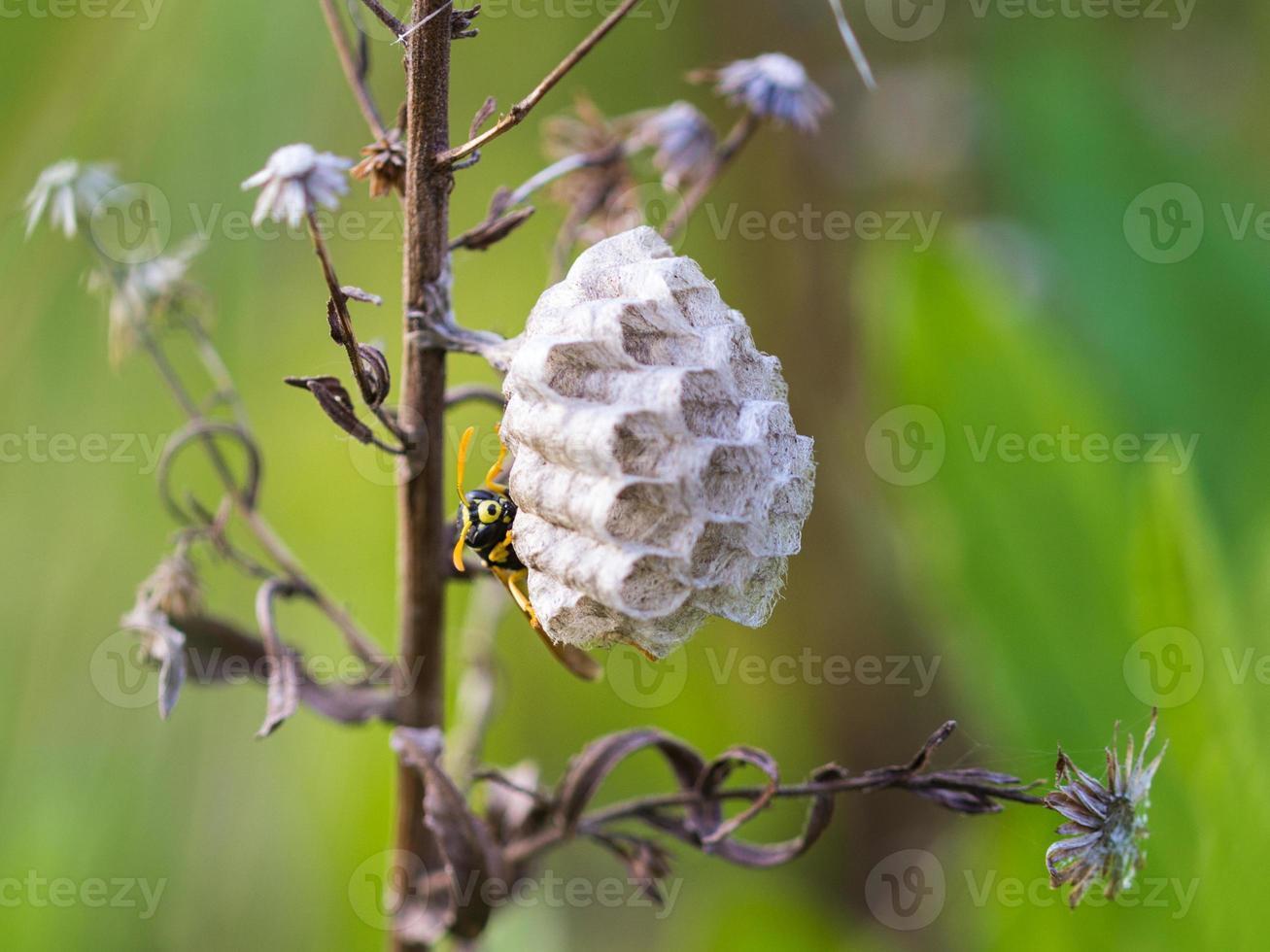 ninho de vespas foto